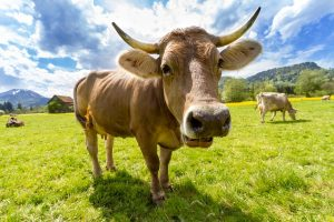 a cow stands in the middle of a field