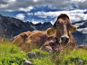 a cow with mountains in the background