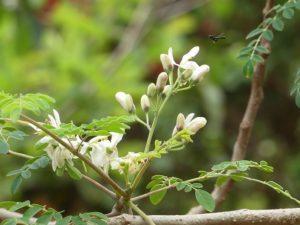 moringa blossoms on the tree