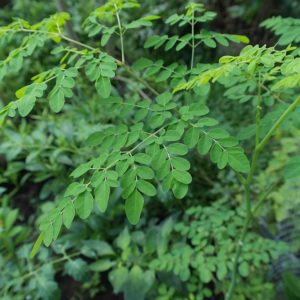 moringa leaves growing in the sun
