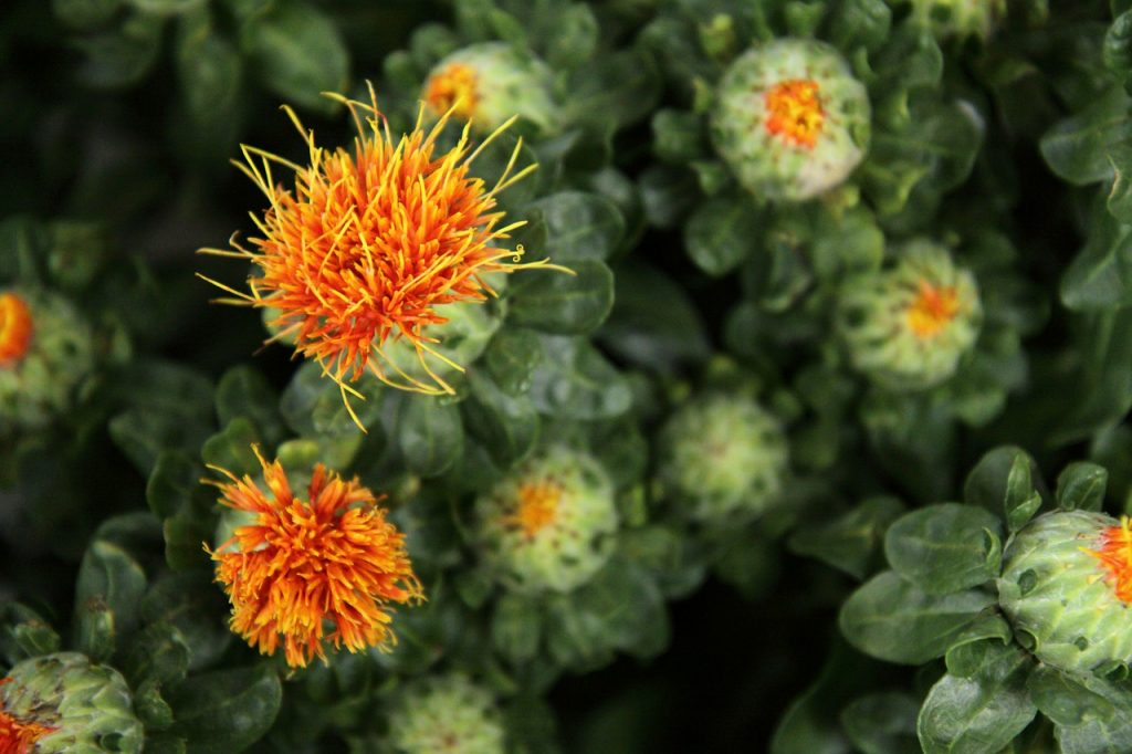 a close up shot of a field of safflowers