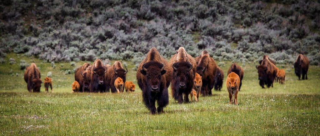 a herd of buffalo wonders through a pasture. bison is a great food for boosting productivity