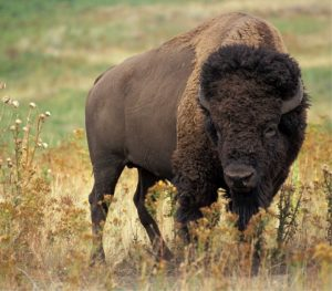 bison meat is a healthy brain booster