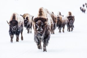 bison is a great high protein food
