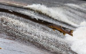 a salmon jumps out of the water