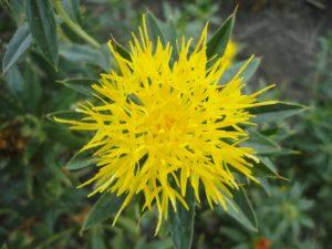 a bright yellow safflower