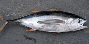 a tuna fish sitting on the dock after being caught